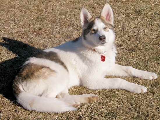 Big Dog Breeds For Pets
