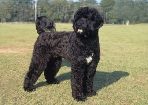 Pictures of Portuguese Water Dog