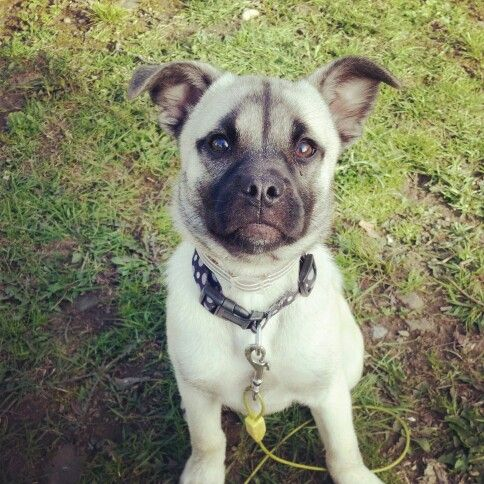 pug mix breeds hug dog pug x husky mix info temperament training 8371