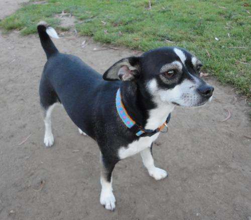 rat terrier mixed with chihuahua rat cha rat terrier x chihuahua mix info temperament 9767