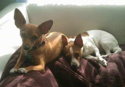 rat terrier mixed with chihuahua rat cha rat terrier x chihuahua mix info temperament 9944