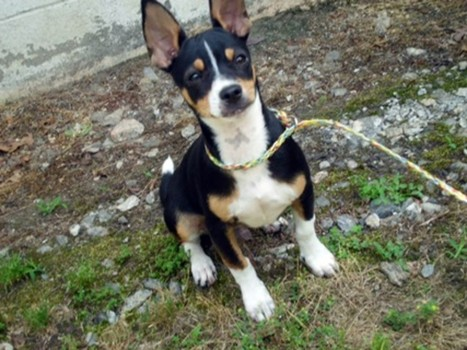 Rat Cha Rat Terrier X Chihuahua Mix Info Temperament Training