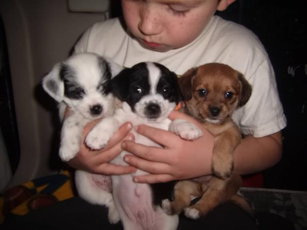Rat Terrier Chihuahua Mix Puppies For