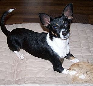 Rat Cha Terrier X Chihuahua Mix