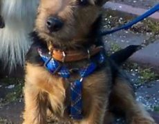 Yorkie Russell Yorkie X Jack Russell Terrier Mix Facts