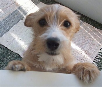 jack russel terrier mix yorkie russell yorkie x jack russell terrier mix facts 8355