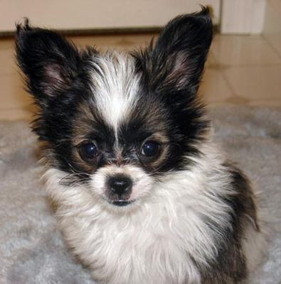 Yorkillon (Papillon-Yorkie Mix) Info, Temperament, Puppies ...