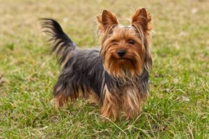 Yorkshire Terrier Image