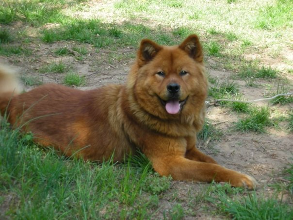 Akita Chow Akita X Chow Mix Dog Info Temperament