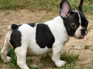 boston terrier french bulldog mix for sale frenchton french bulldog boston terrier mix info 6431