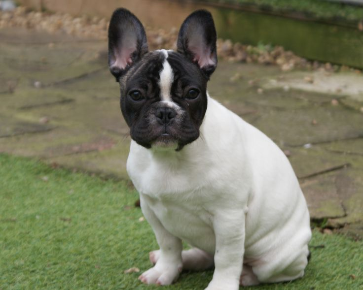 boston terrier and french bulldog frenchton french bulldog boston terrier mix info 8163