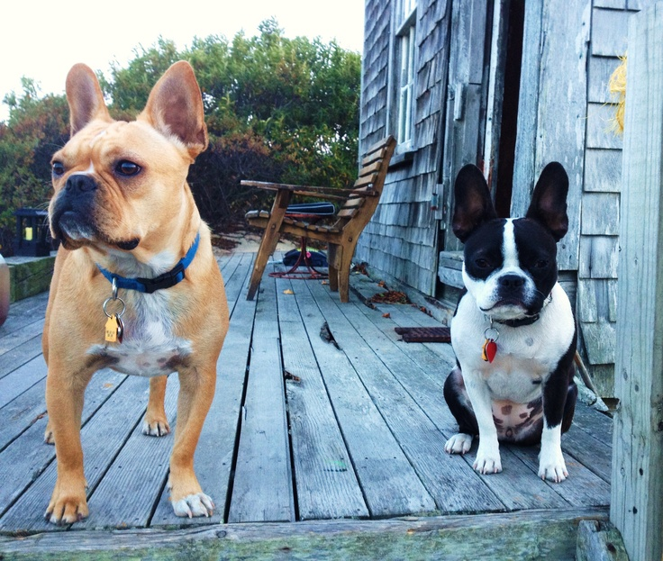 Frenchton French Bulldog Boston Terrier Mix Info