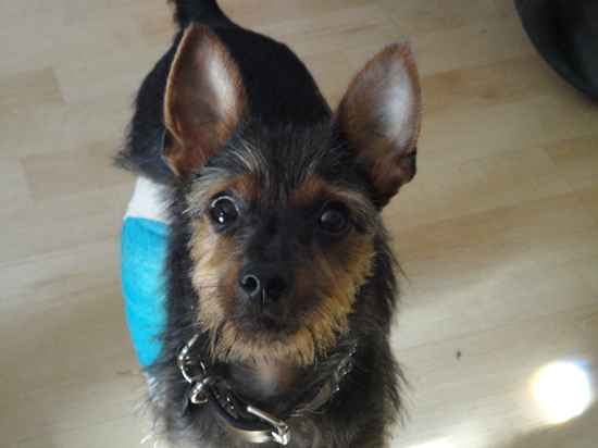 Yorkie Pin (Min Pin-Yorkie Mix) Info, Temperament, Puppies ...