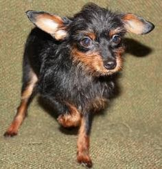 Yorkie Pin Min Pin Yorkie Mix Info Temperament Puppies