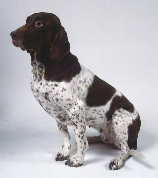 Old Danish Pointer Info Temperament Puppies Pictures