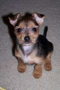 chihuahua rat terrier mix weight loss