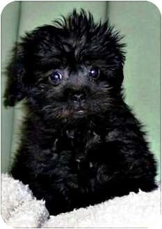 Affenpoo Affenpinscher Poodle Mix Info Puppies