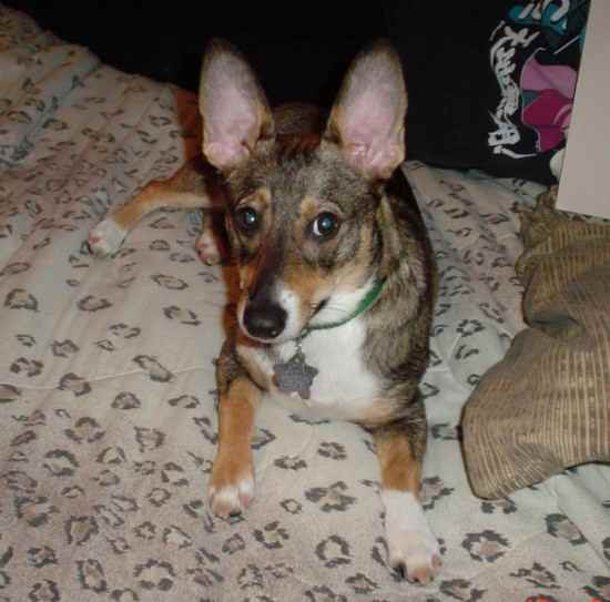 Cojack Corgi X Jack Russell Mix Dog Info Temperament