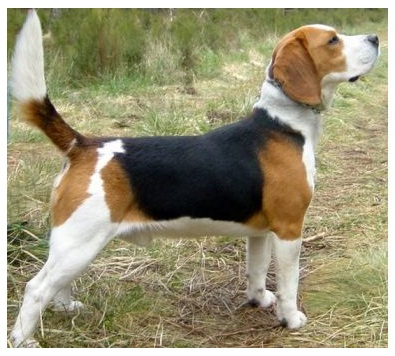 Dog Breeds Similar To Beagle