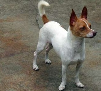 jack russel terrier mix cojack corgi x jack russell mix dog info temperament 2183