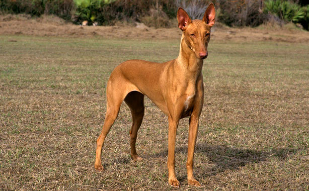 Pharaoh Hound Pharaoh Dog Info Temperament Puppies