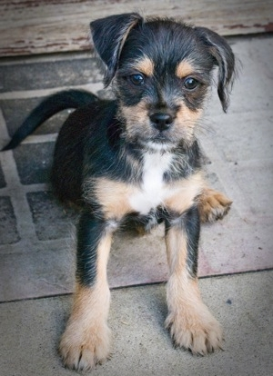 shih tzu min pin mix pin tzu miniature pinscher x shih tzu mix info 8259