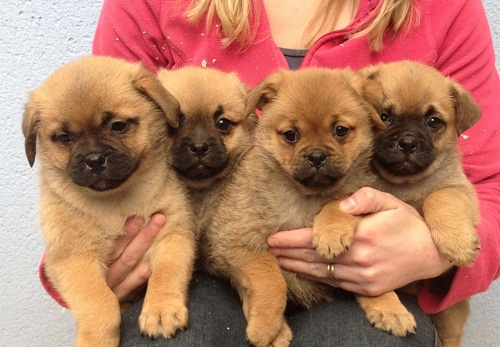 pug mixed puppies pom a pug pomeranian pug mix info temperament puppies 4837