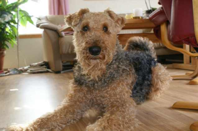 Airedale Dogs For Sale