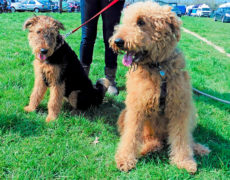 Airedoodle Airedale X Terrier Poodle Mix, Info, Temperament, Puppies, Pictures