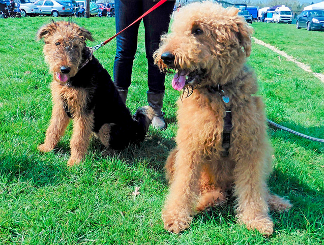 Airedoodle (Airedale X Terrier Poodle Mix), Info ...