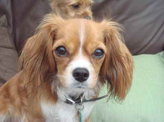 Chilier Dog (Cavalier ...