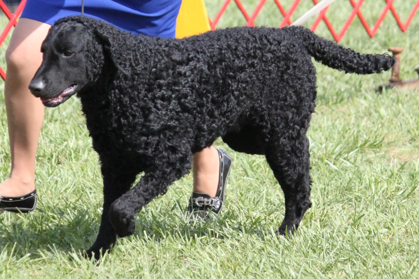 Curly Coated Retriever Dog Info Temperament Training