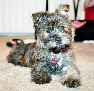 Fourche Terrier Westie Yorkie Mix Info Puppies Pictures