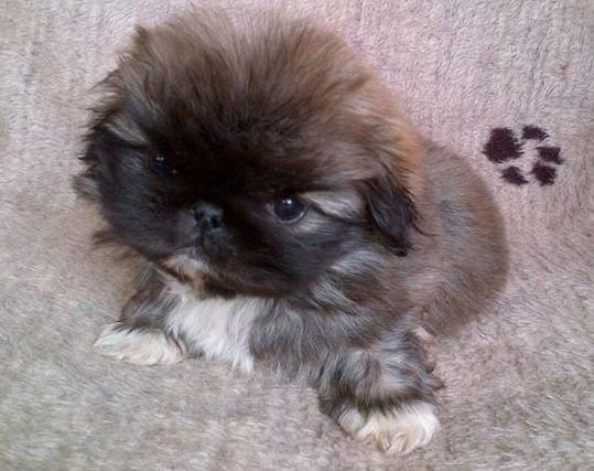 pug mix breeds puginese pekingese x pug mix dog breed info temperament 2236
