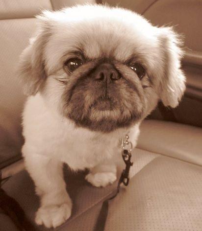 Puginese (Pekingese X Pug Mix) Dog Breed Info, Temperament ...