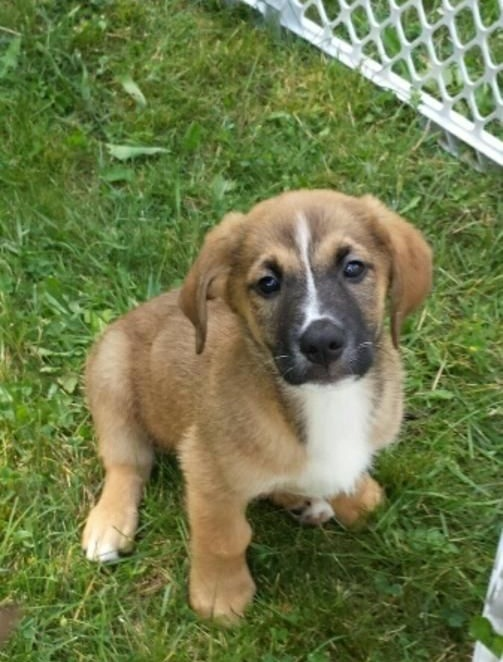 Golden Saint St Bernard Golden Retriever Mix Info Puppies Pictures