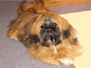 Shinese Shih Tzu X Pekingese Mix Info Temperament