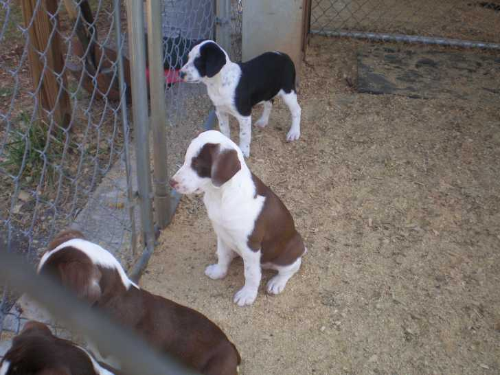Squirrel Dogs For Sale In Florida