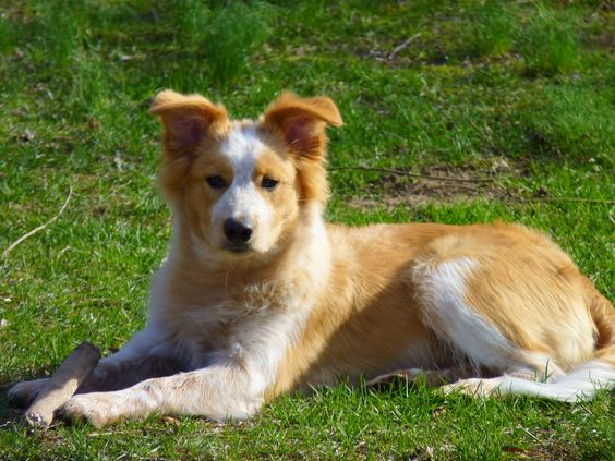 golden collie border collie x golden retriever mix