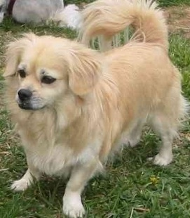 chihuahua peke mix cheeks dog pekingese chihuahua mix info temperament 3941