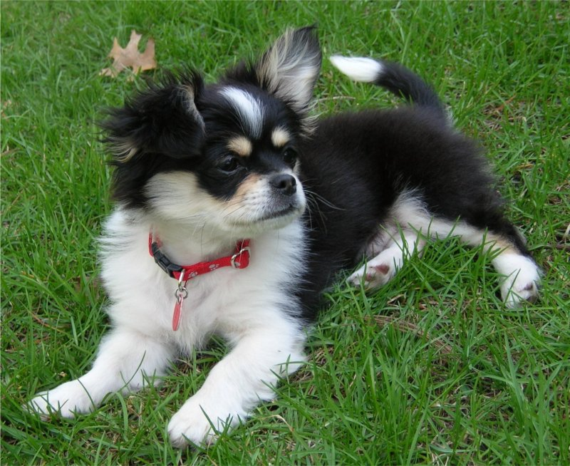 chihuahua peke mix cheeks dog pekingese chihuahua mix info temperament 2565