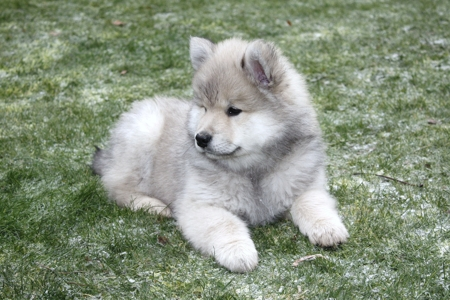 White Small Dog With Black Ears