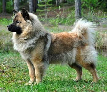 Eurasier Dog Chow Samoyed Keeshond Mix Info Temperament Puppies Pictures