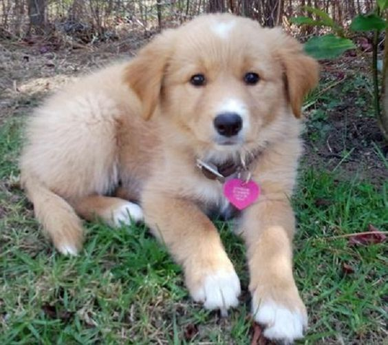 Golden Collie Border Collie X Golden Retriever Mix Temperament