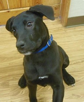 Great Dane Lab Mix Puppy