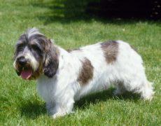 Dog Breed Info Pbgv