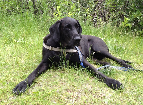 Labradane Great Dane Lab Mix Info Puppies And Pictures