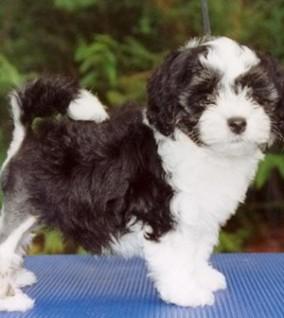 Lowchen Little Lion Dog Info Temperament Puppies And