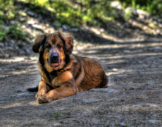 Mountain Mastiff