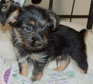 Yorkinese (Yorkie X Pekingese Mix) Info, Temperament